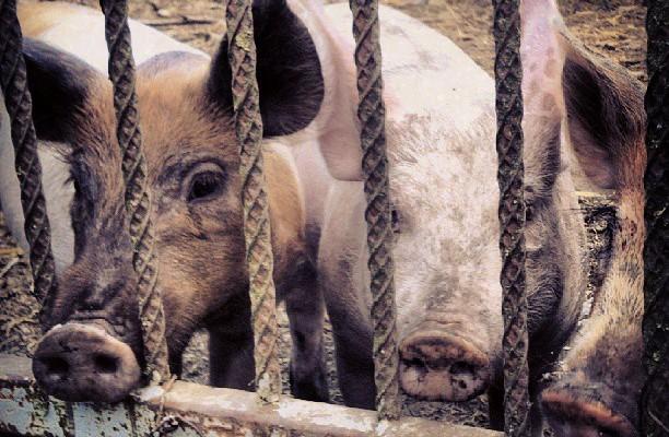 Y soplaré, y soplaré… #trescerditos #txerriak #porky #Abornikano #Araba – Instagram