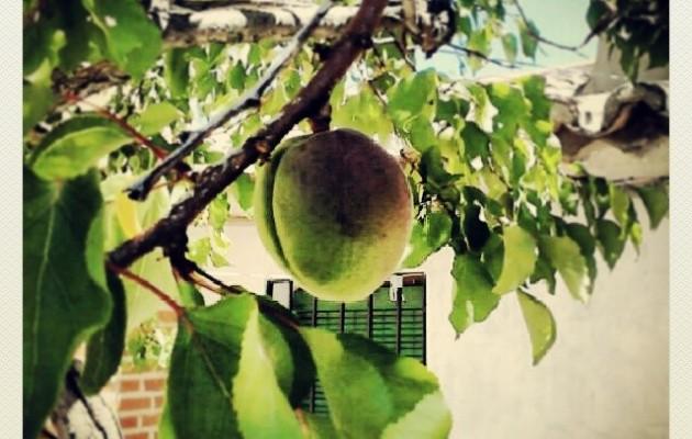 Si unos que yo me sé lo viesen así… #alegría #nostalgia #recuerdos #aititeamama #elRincóndeGoya #Mamblas #albaricoque #frutos #frutal #árbol #ramas #hoja #ventana – Instagram