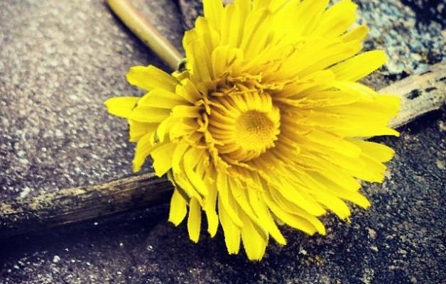 Abandonado en la piedra el sol se marchita… #flor #amarilla #amarillo #sol #piedra #rama #primavera #Pobeña – Instagram