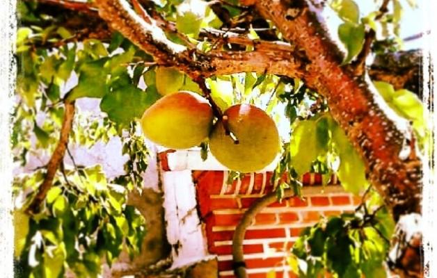 Tantos años y al final da sus frutos #albaricoque #frutal #frutos #árbol #elRincóndeGoya #Mamblas #primavera #ramas #hojas #tejado #ladrillo – Instagram