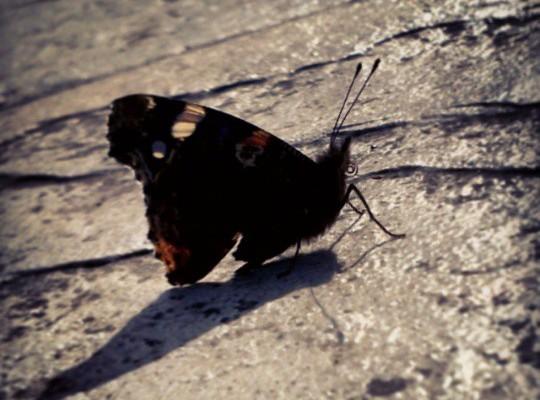 Calentando moteres al sol #tximeleta #pinpilinpauxa #mariposa #butterfly #beltzalaranja #negronaranja #blackorange #sol #eguzkia #sun #acontraluz – Instagram
