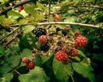 #Sabores del #bosque#moras #negras #rojas #zarzal – Instagram